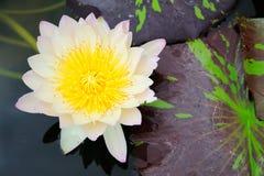 weißer Lotos Blume Lizenzfreie Stockfotos