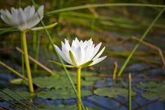 Weißer Lotos in den Sumpfgebieten Stockfoto