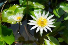 Weißer Lotos, der im Sonnenschein blüht Stockbilder