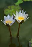 Weißer Lotos der schönen Blüte lizenzfreie stockfotografie