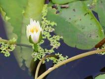 Weißer Lotos im Garten Stockbilder