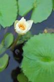 Weißer Lotos im Pool Lizenzfreies Stockbild