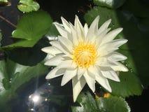 Weißer Lotos im Schüsselwasser Lizenzfreie Stockfotografie
