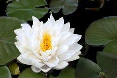 Weißer Lotos-Schönheit Stockbild