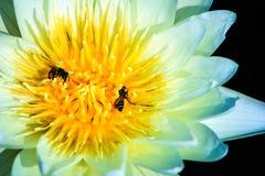 Weißer Lotos und Bienen Stockfoto