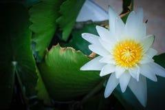 Weißer Lotos und grünes Blatt Lizenzfreies Stockbild
