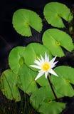 Weißer Lotos und Lilienauflagen Stockfotos