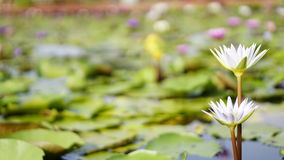 Weißer Lotos, Wildwasserlilie im Garten Lizenzfreie Stockfotografie