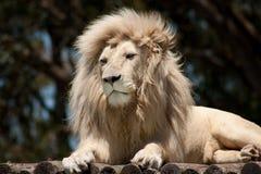 Weißer männlicher Löwe, der auf einer hölzernen Plattform stillsteht Stockfotografie