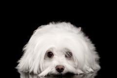 Weißer maltesischer Hund, der, traurige Augen in camera schauen lokalisiert liegt Stockfoto
