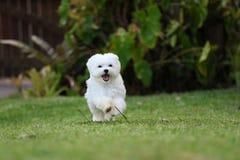 Weißer maltesischer Hundebetrieb stockbilder