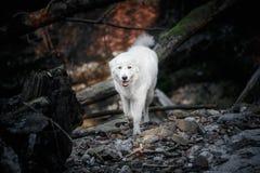 Weißer Maremma-Hund läuft in den Wald stockfoto