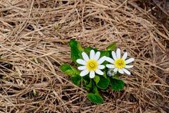 Weißer Marsh Marigold im grasartigen nassen Boden Lizenzfreies Stockfoto