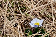 Weißer Marsh Marigold im grasartigen nassen Boden Stockbilder