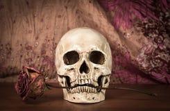 Weißer menschlicher Schädel des Stilllebens mit trockener Rotrose in den Zähnen auf woode Stockbild
