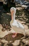 Weißer mit Federn versehener Pelikan, der seinen Schnabel verkratzt stockbild