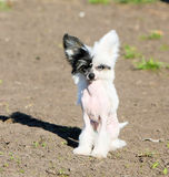Weißer nackter Chinese Crested-Hund Stockfoto