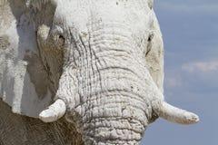 Weißer Namibia-Elefant Lizenzfreie Stockfotografie