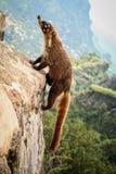 Weißer Nase Coati, der eine Pyramide in tepoztlan Morelos Mexiko klettert Stockbilder