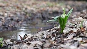 Weißer Nebenfluss der Frühlingsschneeglöckchen an Land Wald, Vogel-Gesang, eine leichte Brise durchbrennend stock footage