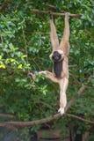 Weißer netter Affe Cheeked Gibbon auf Baum Lizenzfreies Stockbild