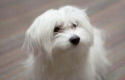 Weißer netter maltesse pupie Hund- Innen-photoshoot lizenzfreies stockfoto