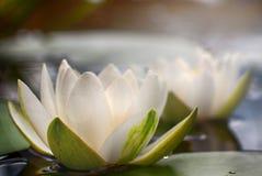Weißer Nymphaea alba, allgemein genannt Seerose oder Seerose 5 Stockbilder