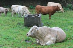 Weißer Ochse, der auf Gras liegt Stockfoto