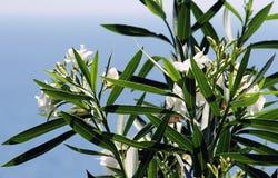 Weißer Oleander Stockfotos
