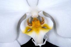 Weißer Orchidee-Blumen-Abschluss oben lizenzfreie stockfotos