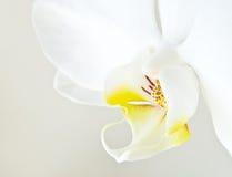 Weißer Orchidee Phalaenopsis lizenzfreie stockfotos