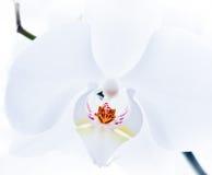 Weißer Orchideeabschluß oben Stockbilder