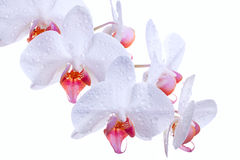 Weißer Orchideendampf Stockfotografie