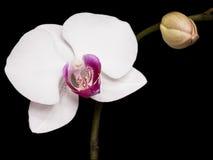 Weißer Orchideenhintergrund Lizenzfreies Stockfoto