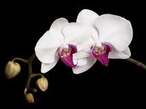 Weißer Orchideenhintergrund Stockfotografie