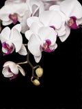 Weißer Orchideenhintergrund Lizenzfreies Stockbild