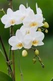 Weißer Orchideenhintergrund Stockbild