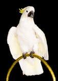 Weißer Papagei Stockbild
