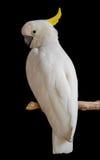 Weißer Papagei Lizenzfreies Stockfoto