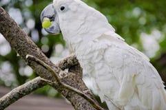 Weißer Papagei, der eine Traube isst Lizenzfreie Stockfotografie