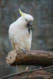 Weißer Papagei gehockt auf einer Niederlassung stockfotos