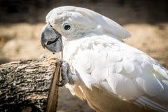 Weißer Papageienkakadu mit einer Nahaufnahme der frohen Stimmung Gelbhaubenkakadu in der Natur Stockfotografie