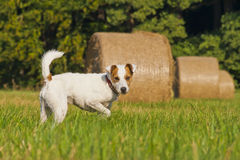 Weißer Pastor Russell Terrier Lizenzfreie Stockbilder