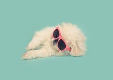 Weißer Pekinese-Welpe, der rosa Sonnenbrille auf blauem Hintergrund trägt Stockfotos