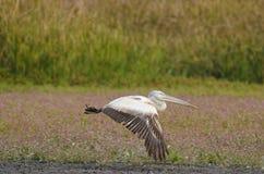 Weißer Pelikan Stockfotos