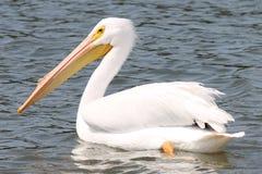 Weißer Pelikan Stockbild