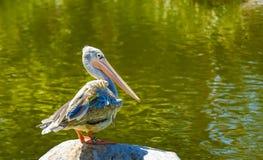 Weißer Pelikan stockfotografie