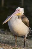 Weißer Pelikan Lizenzfreie Stockbilder