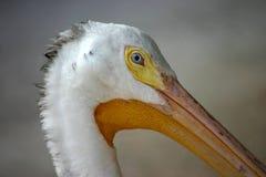 Weißer Pelikan Lizenzfreie Stockfotografie