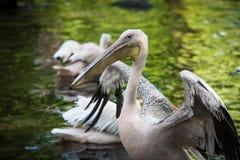 Weißer Pelikan auf grünem See Stockbild